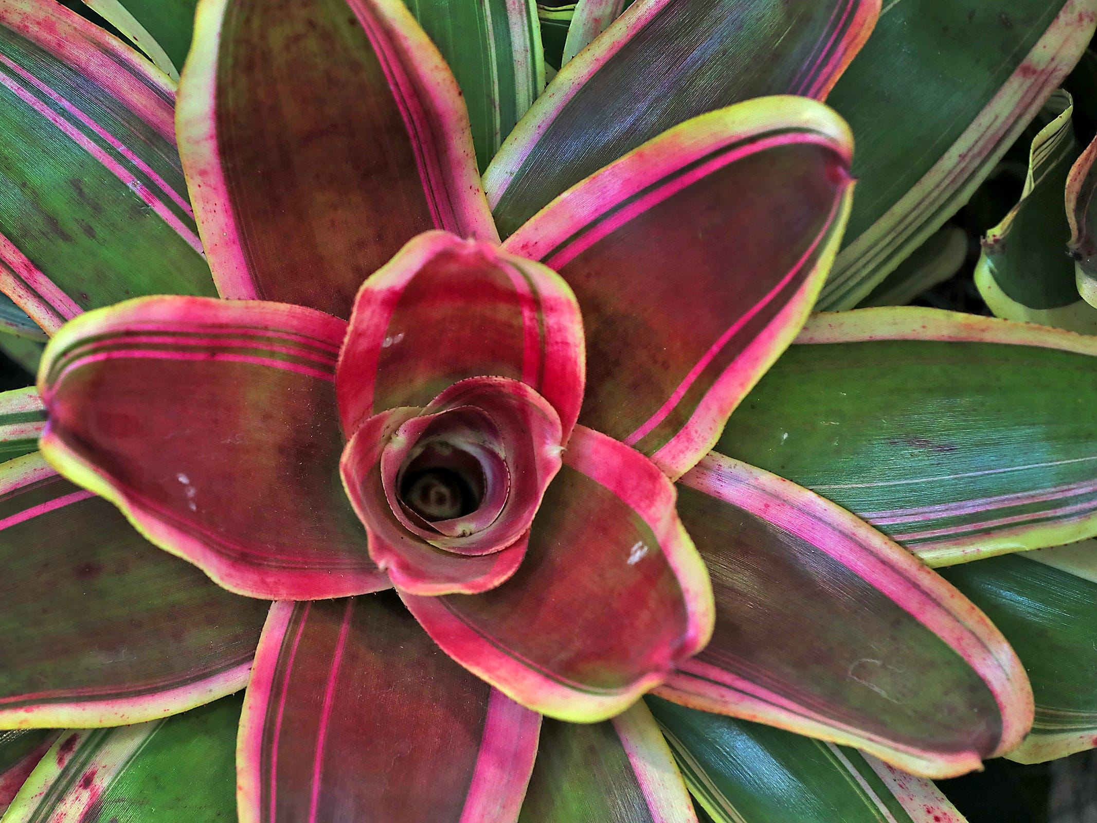 A Bromeliad Neoregelia Charisma is seen in one of the McNamara Florist Gardens at the Indiana Flower + Patio Show, at the Indiana State Fairgrounds, Sunday, March 10, 2019.