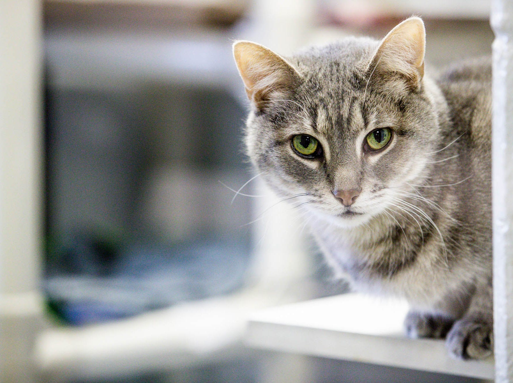 Mopuse, a cat up for adoption from Indy Humane watches the goings on during the Puppy and Kitten Baby Shower, on Sunday, March 10, 2019. The event educates families on Indy Humane's foster care program, as Fosters are needed in the spring during puppy and kitten season.