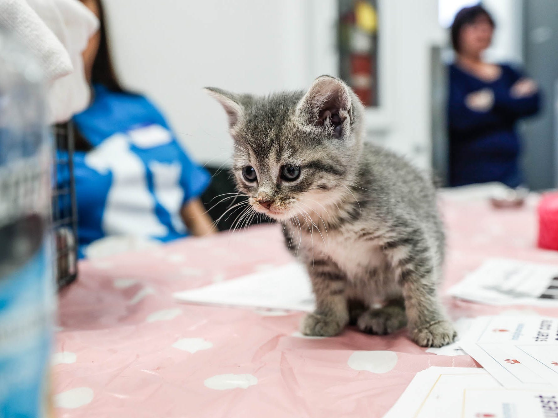 A kitten plays on a table with volunteers during the Puppy and Kitten Baby Shower, held at Indy Humane on Sunday, March 10, 2019. The event educates families on Indy Humane's foster care program, as Fosters are needed in the spring during puppy and kitten season.