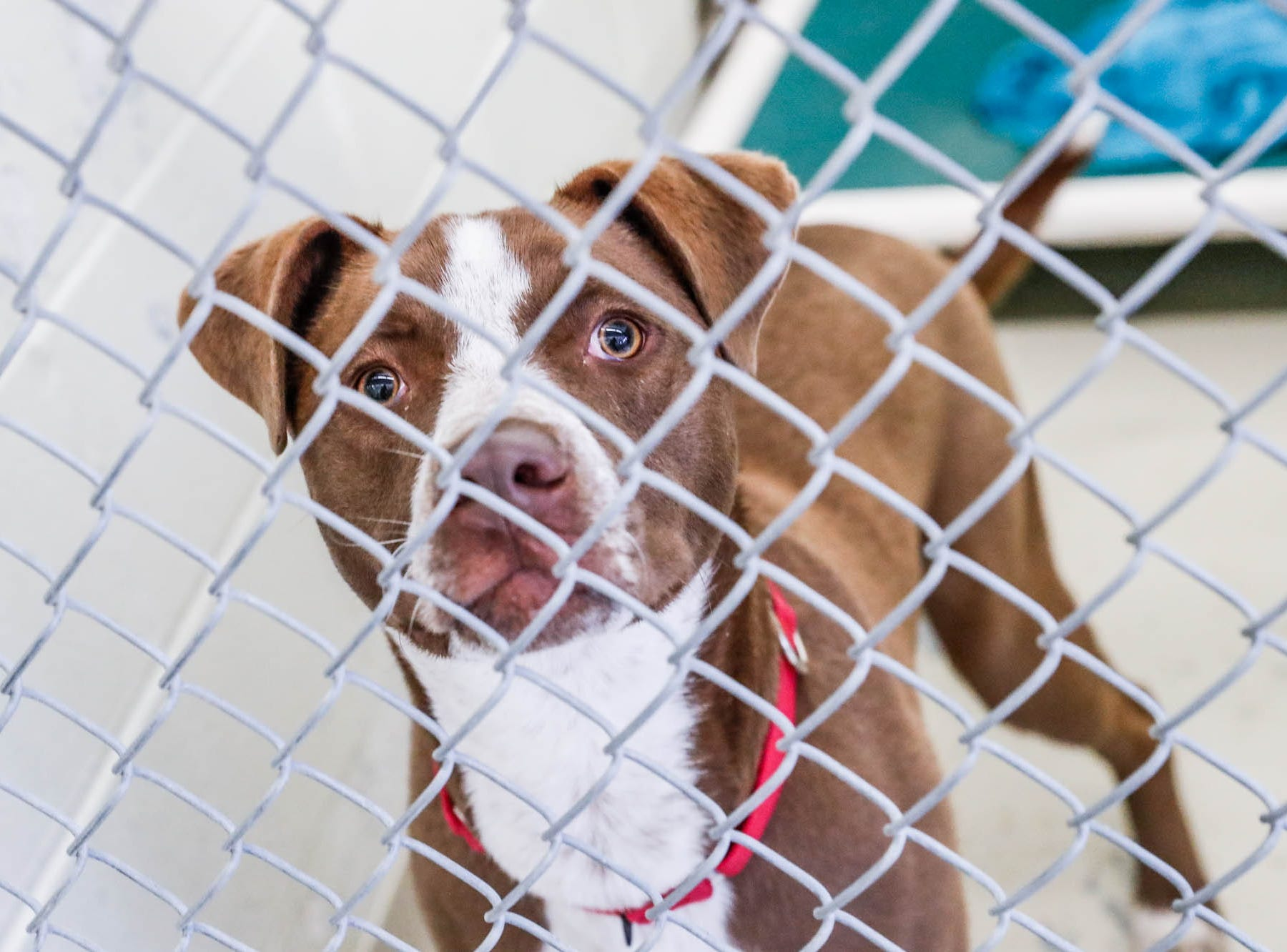 Backus, a nine month old male up for adoption from Indy Humane waits in his cage for a forever home during their Puppy and Kitten Baby Shower on Sunday, March 10, 2019. The event educates families on Indy Humane's foster care program, as Fosters are needed in the spring during puppy and kitten season.