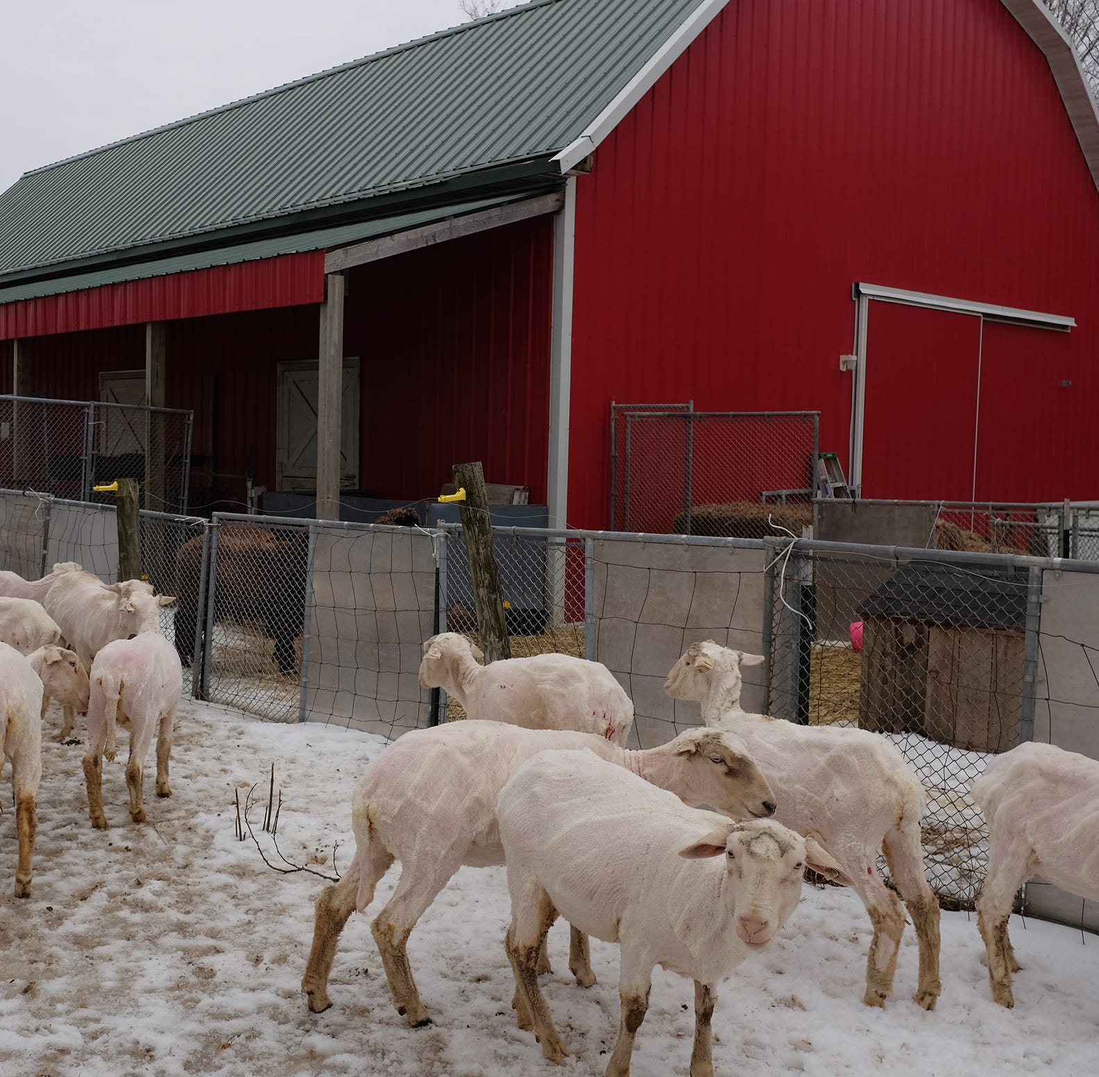 Putnam: Sweet dreams of a sheep farm comes true for retired state worker