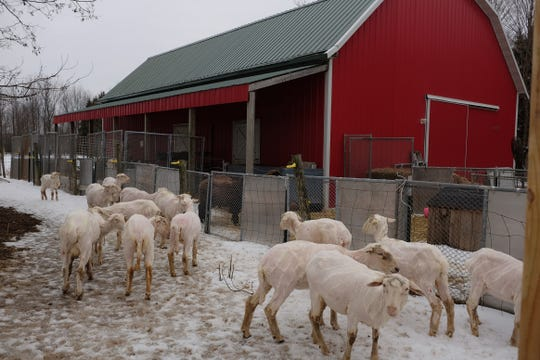 Freshly sheared sheep gather outside the barn at the Bridget Kavanagh farm in Mason Saturday, March 9, 2019.