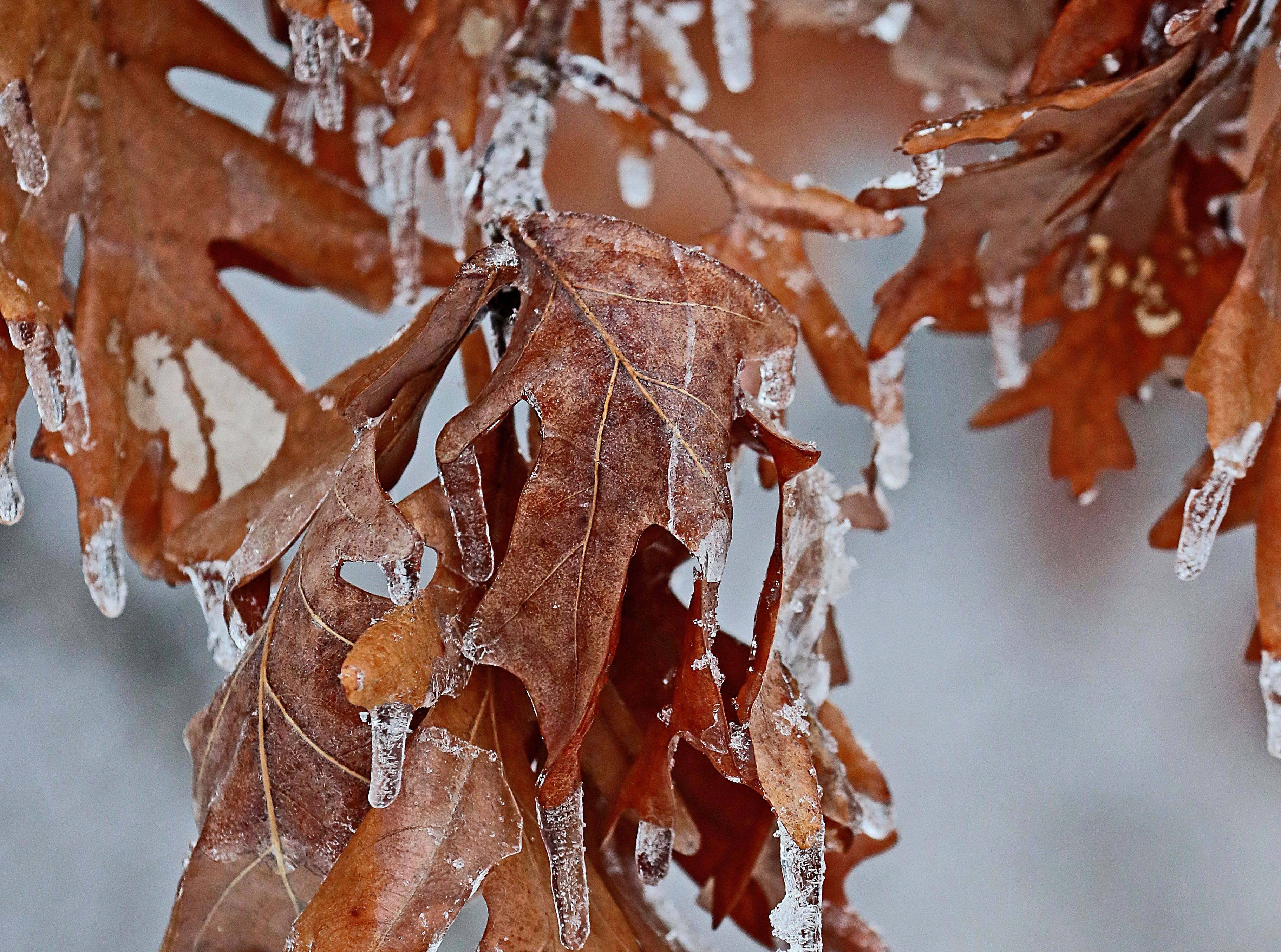 Small icicles form on leaves still hanging on a tree at Kettle Moraine State Forest-Lapham Peak Unit in Delafield.