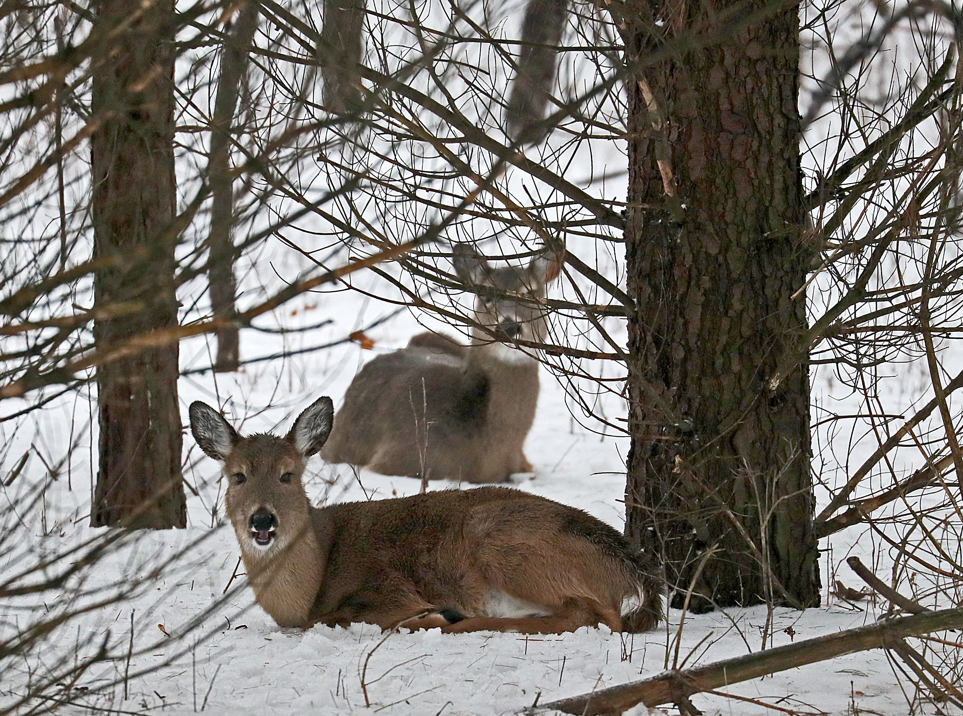 Deer are bedded down at Kettle Moraine State Forest-Lapham Peak Unit in Delafield Sunday. They were unperturbed by the gusty winds and a passerby.