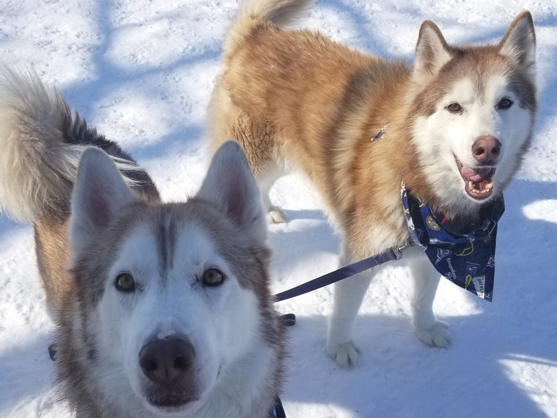 Six-year-old Siberian husky mixes, Shylo and Cooper love to be outside and go on adventures. They need to find a home together and are neutered.