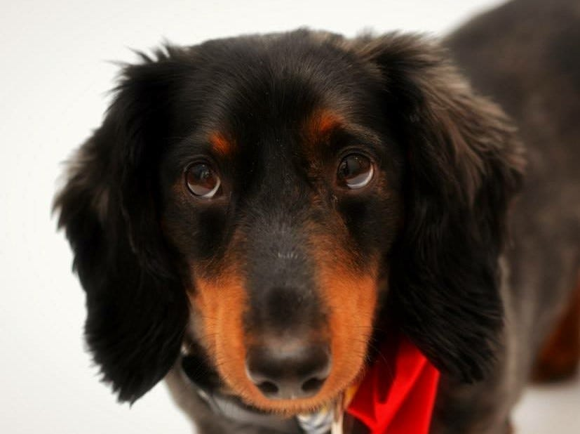 An 11-year-old Dachshund mix, Rico loves dogs, cats and kids. He loves to run around and snuggle and is neutered.