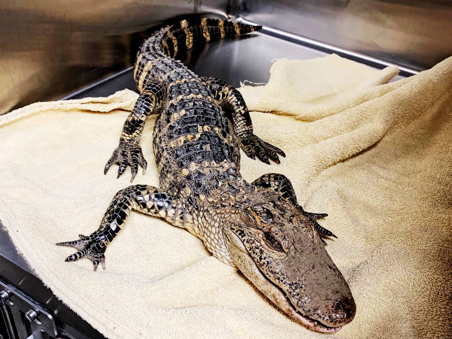 An alligator was found on the trails near Carver Cemetery March 9.