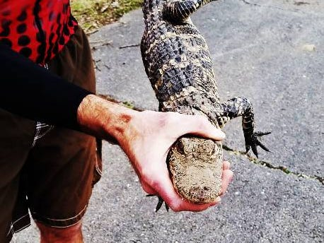 Jason Stratton holds an alligator March 9 on the South Creek Trail in Springfield.