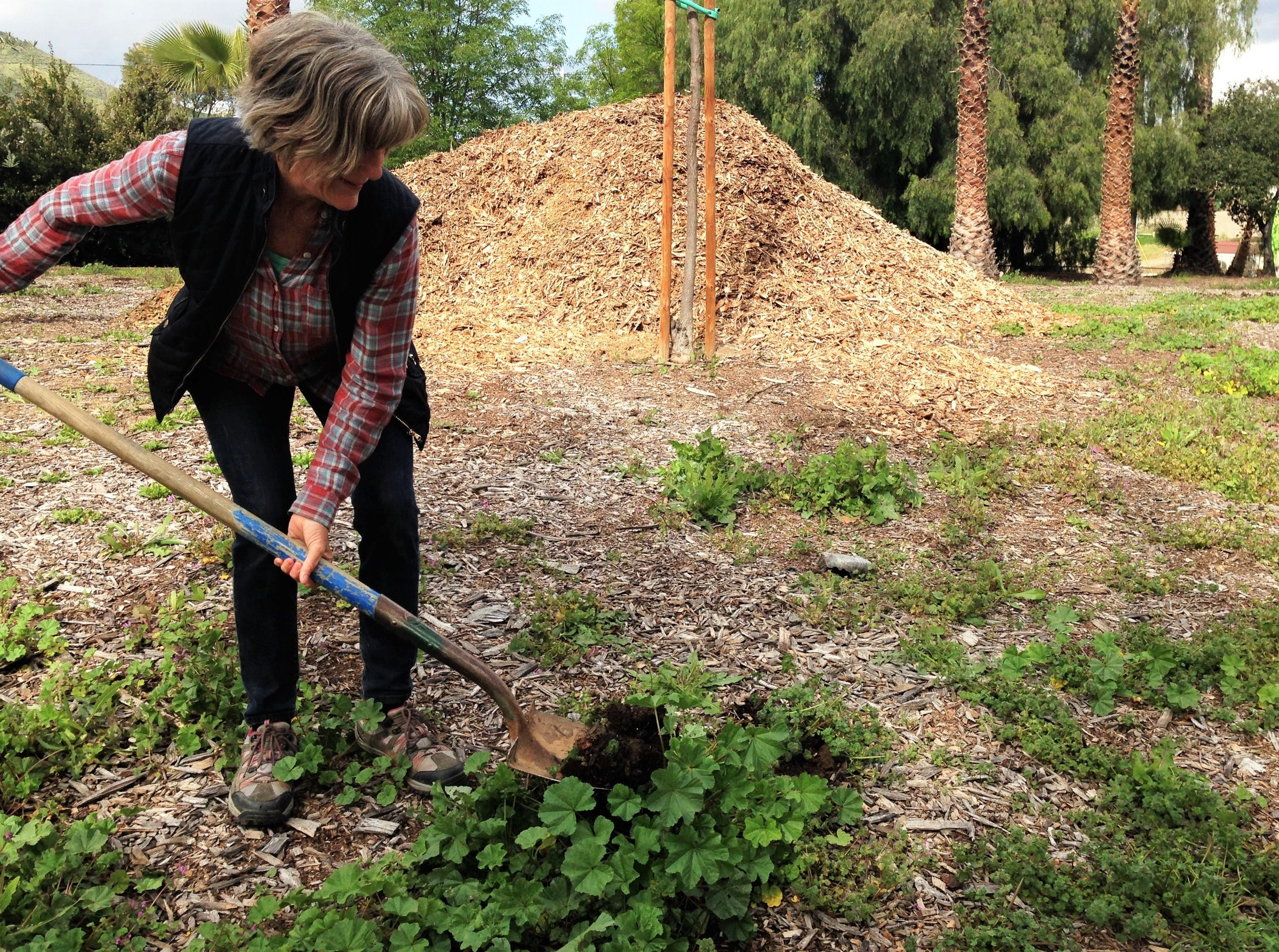 Caroline Carroll, of Simi Valley, was among numerous volunteers who shoveled away weeds from the front lawn of the Simi Valley Samaritan Center on Saturday during Community Volunteer Day.
