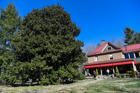 Mary Fierle is dwarfed by the southern magnolia in her yard as she walks up the steps to her home March 6, 2019. The tree has been recognized by the Asheville Treasured Trees program.