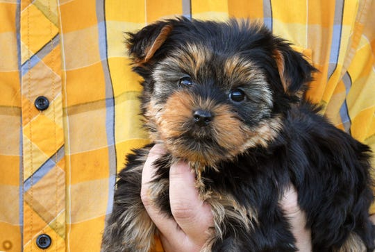 This Yorkshire terrier/silkie terrier mix was for sale earlier this year at the Puppies Plus store in Melbourne