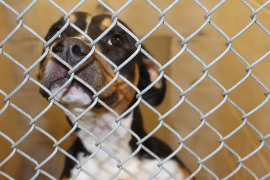 A dog awaiting adoption at the Montgomery County Animal Control Shelter, which microchips all cats and dogs before they leave the shelter.
