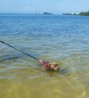 Blue, a pit bull mix puppy, takes a dip in the Atlantic Ocean in Florida.