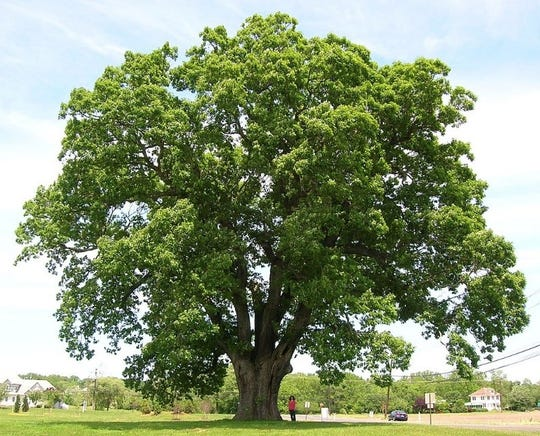 The Keeler Oak Tree in Mansfield Township, Burlington County, New Jersey.