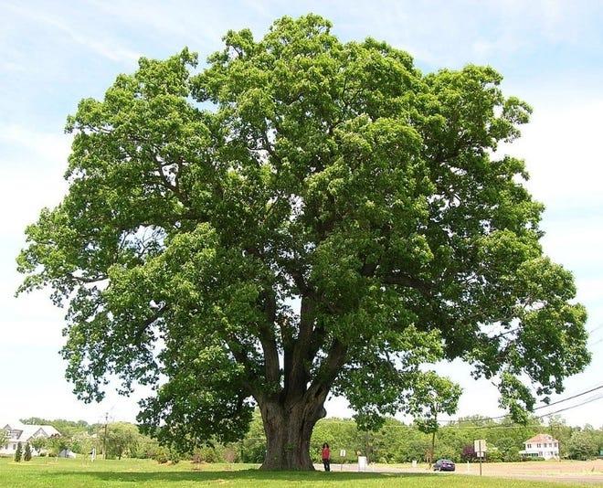 The Keeler Oak Tree in Mansfield Township, Burlington County, New Jersey.