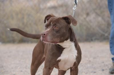 Pitbull puppies are at the center of an alleged scam by sellers claiming to be based in Fort Collins who charge $600 or more then ask for nearly $2,000 more to pay for specialized air shipping containers.