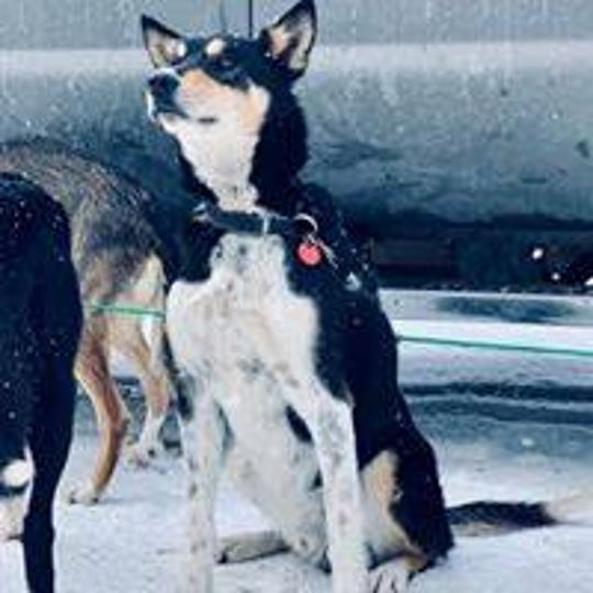 "One of the best dogs in Brett Bruggeman's Skinny Leg Sled Dogs kennel is ""Scabs."" But the Iditarod veteran lead dog has a slight shoulder injury and is no longer running with Bruggeman's team."