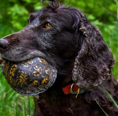 Turtle-sniffing dogs headed this way for Bur Oak Land Trust project