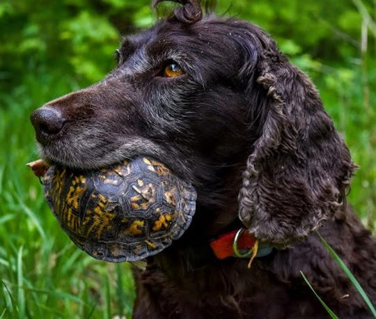 Boykin spaniels like this one have been trained by their Montana handler to locate box turtles and gently return them for data collection by conservationists.
