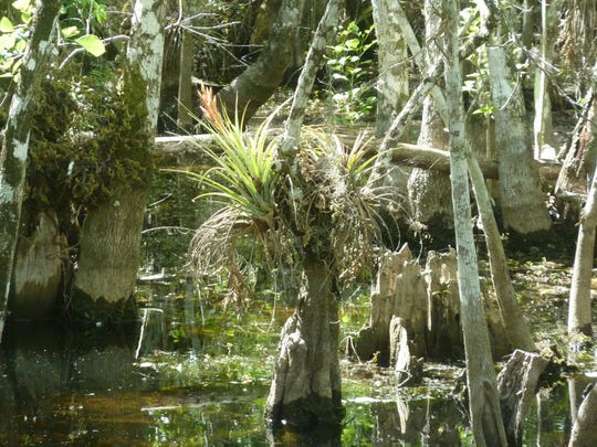 Epiphytes were seen in the swampy area along the trial.