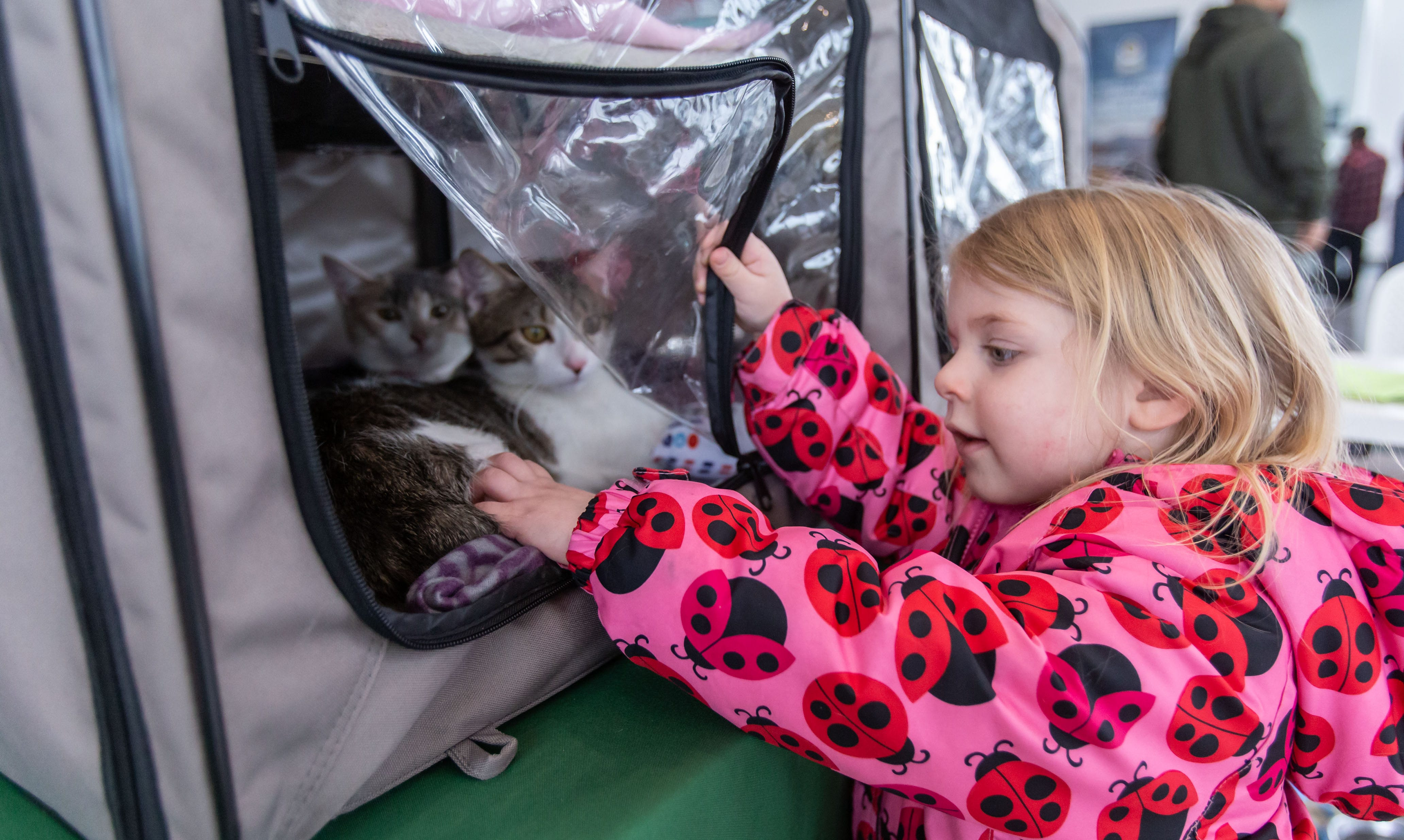Three-year-old Nora Masters of Brookfield pets a cat from HAWS during the Adopt a Pet program at Russ Darrow Kia of Wauwatosa on Saturday, March 9, 2019. The event, held in partnership with the Humane Animal Welfare Society (HAWS) in Waukesha and the German Shepard Dogs Club of Wisconsin (GSDCW), offered attendees the opportunity to meet and adopt dogs, cats, rabbits, and other types of animals.