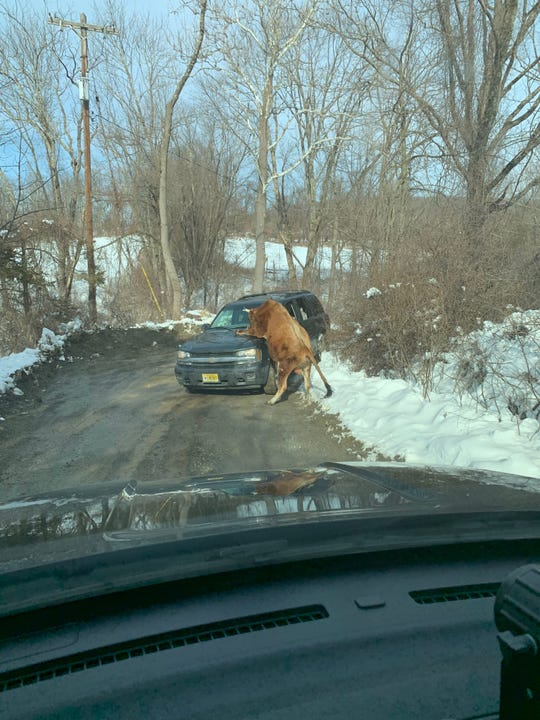 Sparta police provided this dashcam photo of a bull attacking a vehicle on Houses Corner Road in Sparta on March 8, 2019.
