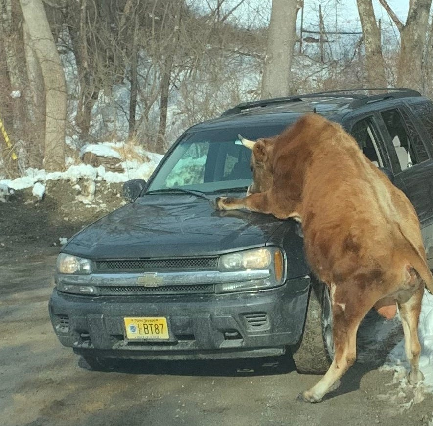 Huge bull attacks cars, cops, injures owner on Sparta street