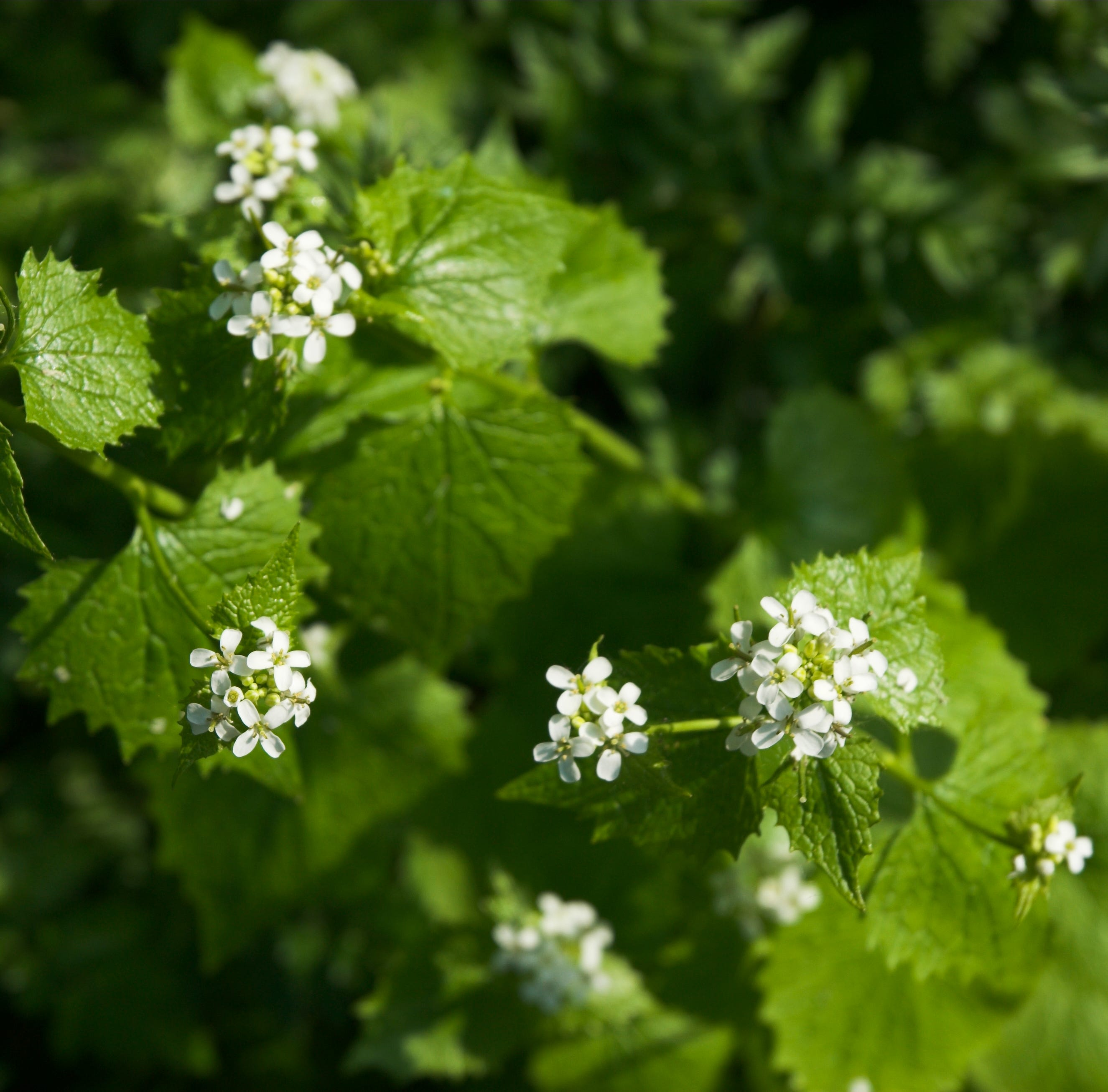 Get Up and Grow: Getting rid of garlic mustard