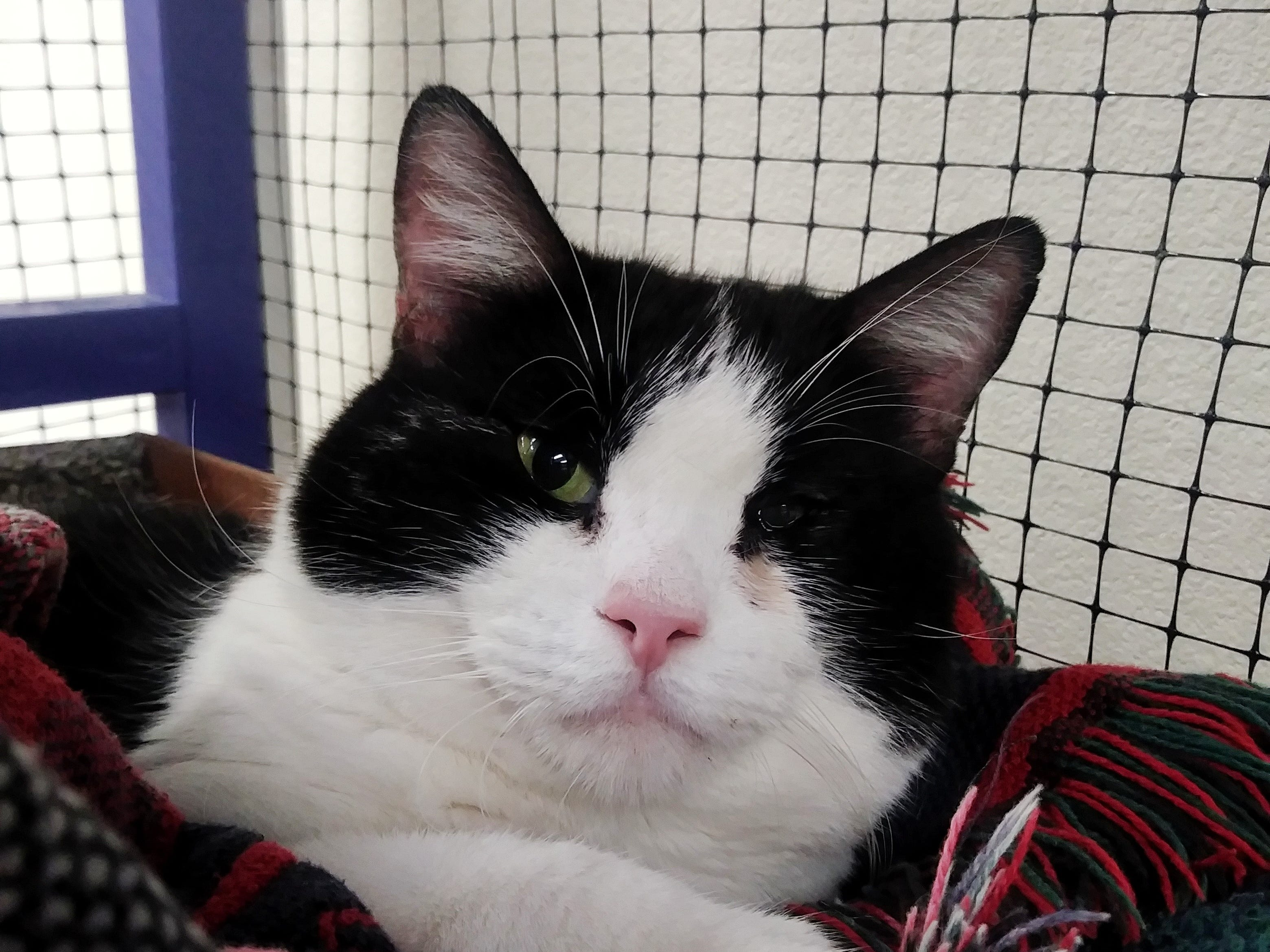 Tommy Boy is a large, adult male cat who is very friendly and will do anything for affection. Email Spay Neuter and Protect at Snap.spayneuterandprotect@gmail.com. Call 209-6966.