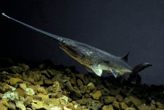 The main characteristic that sets paddlefish apart from other North American fish is its spoon-billed snout, known as a rostrum.