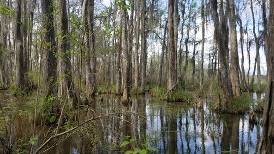 Spanish moss hangs from bald cypress trees on a bayou backwater of the Pearl River near Slidell, Louisiana.