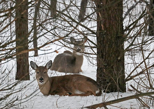 Deer are bedded down Sunday at Kettle Moraine State Forest-Lapham Peak Unit in Delafield, unperturbed by the gusty winds and a passerby.