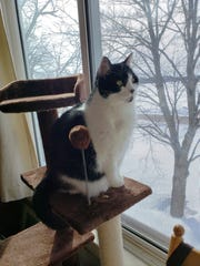 Cruella enjoys the vantage point from atop the cat tower at the Manzke farmstead.