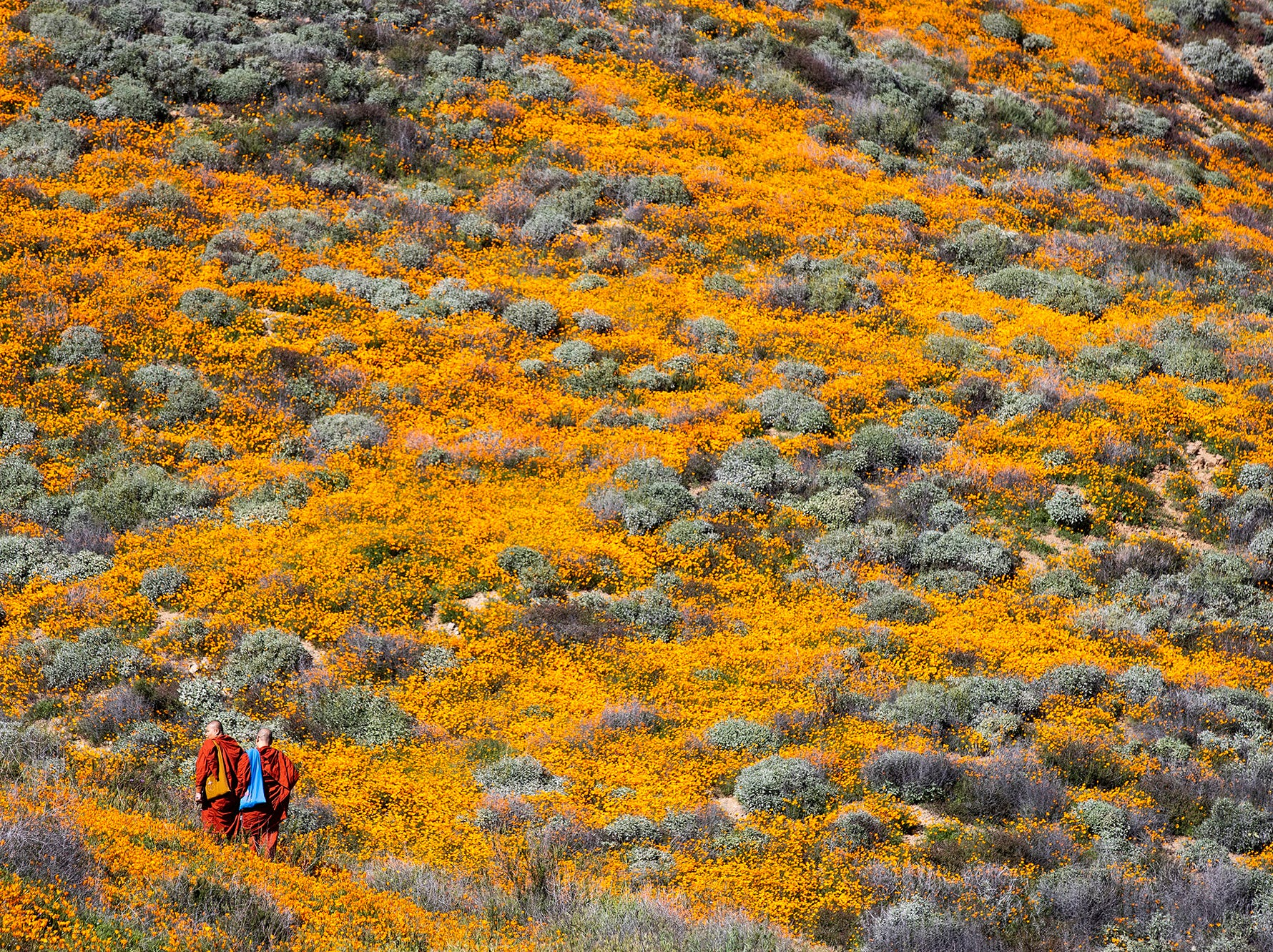 Two buddhist monks walk among the poppy fields as they are blooming on the slops of Walker Canyon near Lake Elsinore, Calif. March 8, 2019.