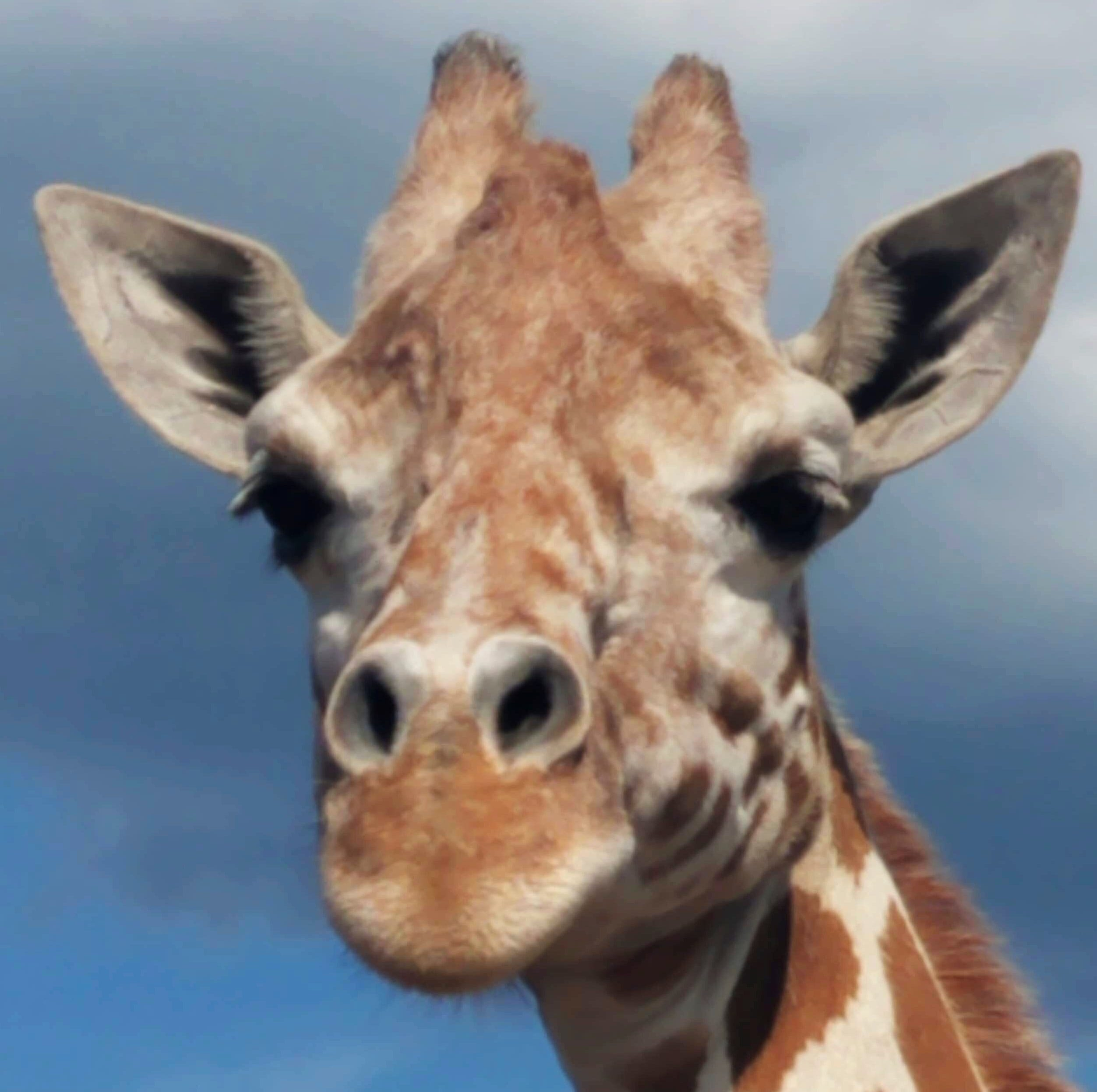 April the giraffe is getting ready to have a another calf any day now. She had a male calf, Tajiri, in April 2017.