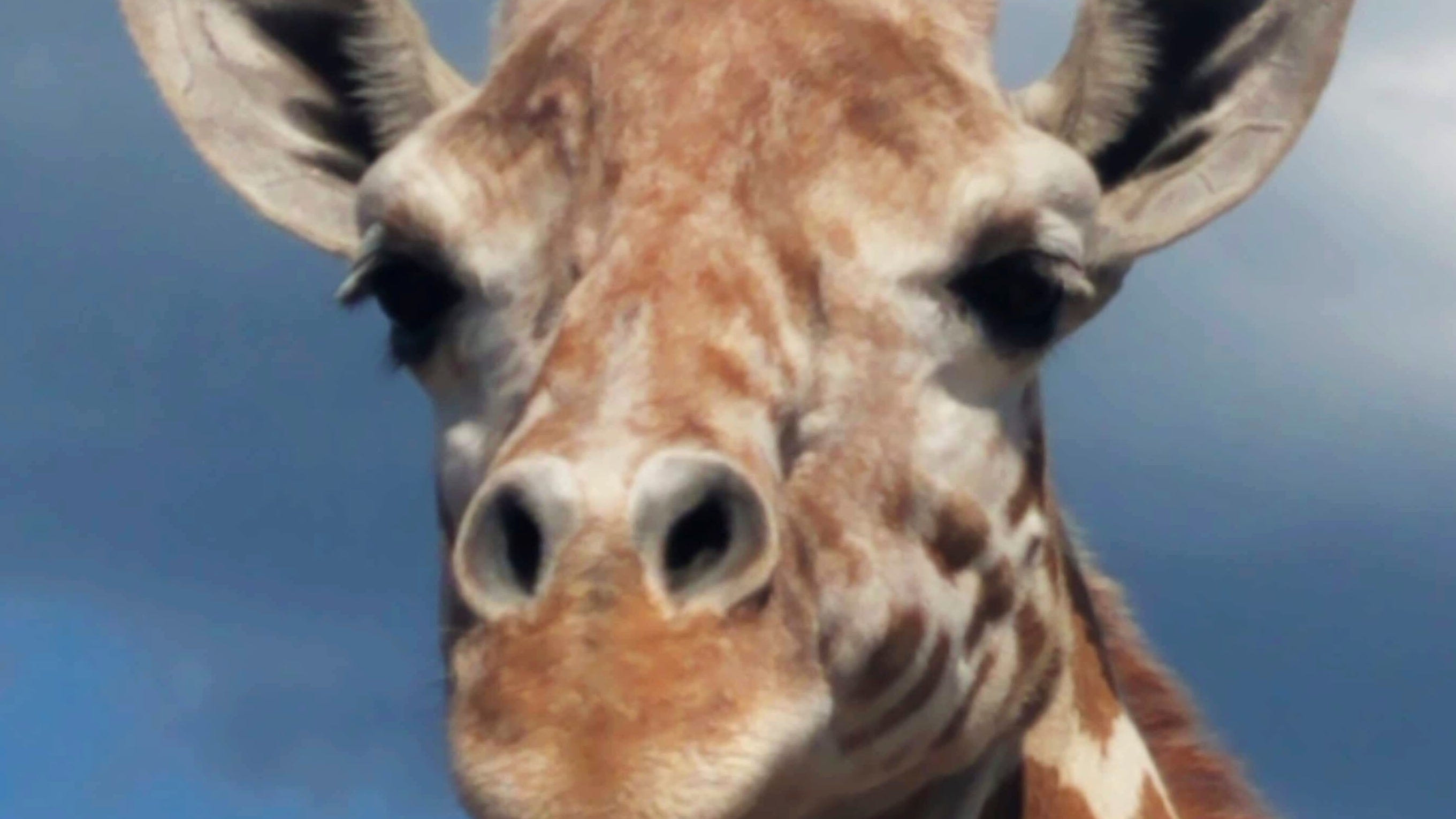 April the giraffe is ready to be a mama again at any moment and we're riveted
