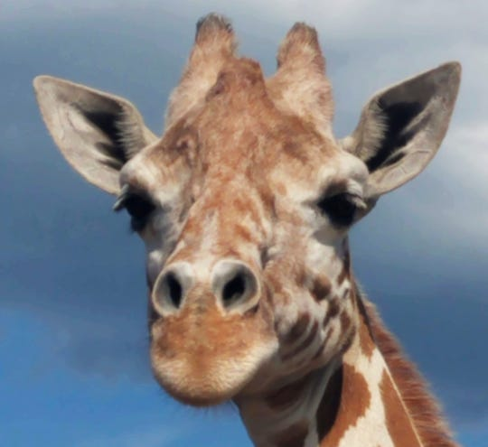 April the giraffe lives at Animal Adventure Park in Harpursville, New York. Her cousins in Africa may soon be protected under the Endangered Species Act.