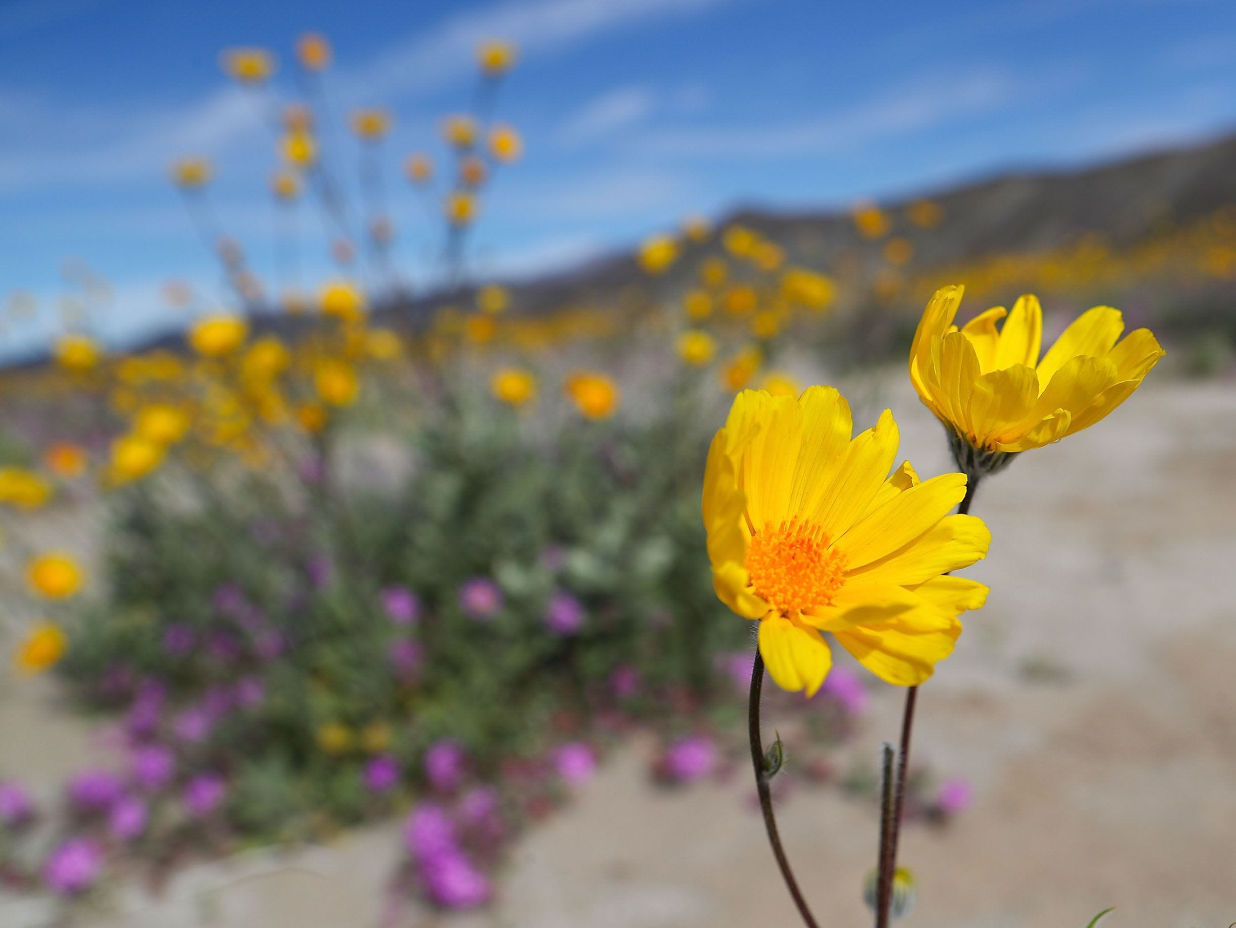 Wildflowers bloom in the Anza Borrego Desert State Park near Borrego Springs, Calif.  March 1, 2019.