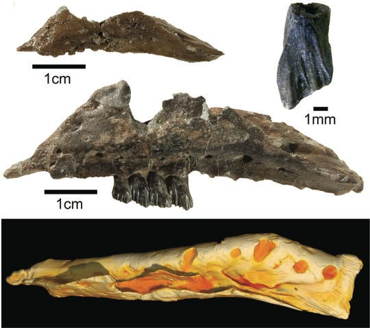 Photos of fossil jaw bones and a 3D model are believed to belong to a newly named dinosaur, the Galleonosaurus dorisae.