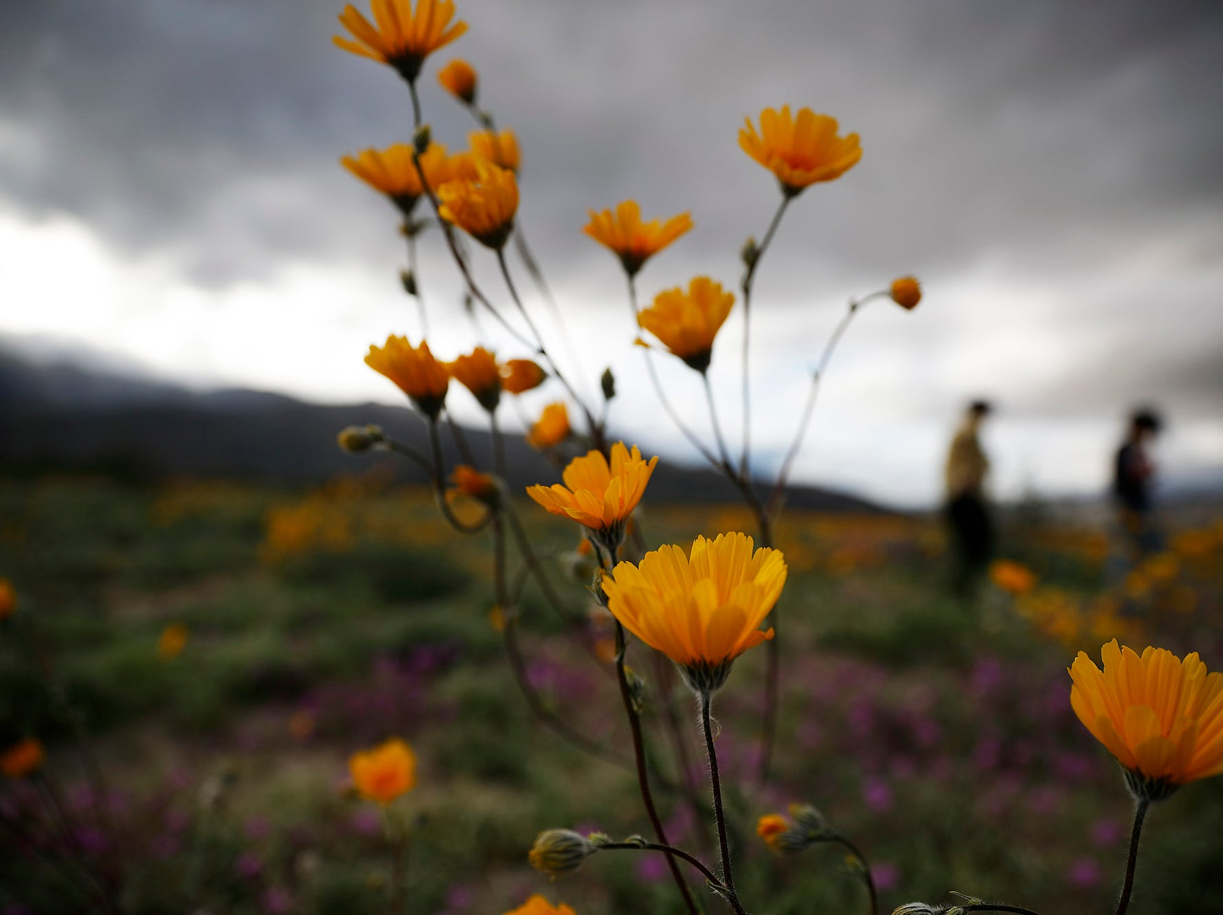 People walk among wildflowers in bloom near Borrego Springs, Calif. March 6, 2019.