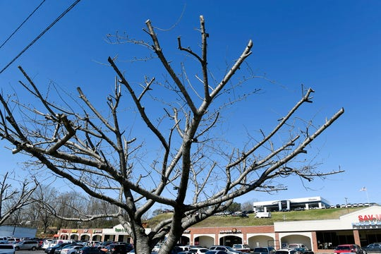 """A dozen cherry trees along Patton Avenue in West Asheville were illegally pruned or """"topped,"""" last fall. The property owner will contract with a certified arborist for the next 10 years to ensure the health of the trees, rather than paying a $19,000 fine."""