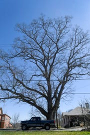 A white oak that was awarded a Treasured Tree plaque stands tall in West Asheville March 6, 2019.