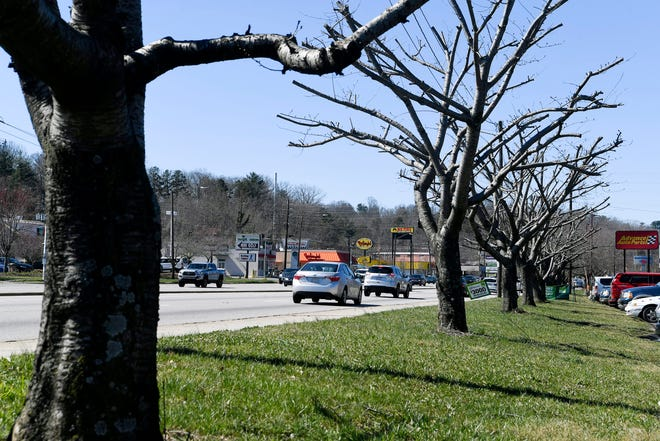 """A dozen cherry trees along Patton Avenue in West Asheville were """"topped,"""" or illegally pruned last fall."""