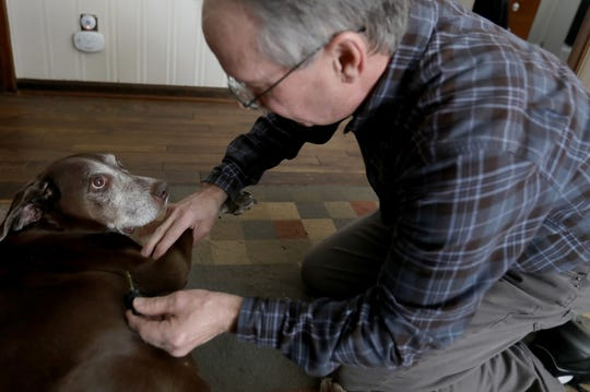 Misty, an 11-year-old chocolate lab mix who has bone cancer in her right front bone joint looks up at her owner Brad Stottlemyer, 65 of Dearborn Heights as he was adding drops of Essential CBD pet drops and rubbing it into her skin on Thursday, March 7, 2019.