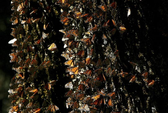 In this March 13, 2005 file photo, monarch butterflies gather on a tree at the El Rosario Butterfly Sanctuary near Angangueo, Mexico. The number of monarch butterflies overwintering in Mexico this winter is up 144 percent over last winter, according to Mexican government officials.