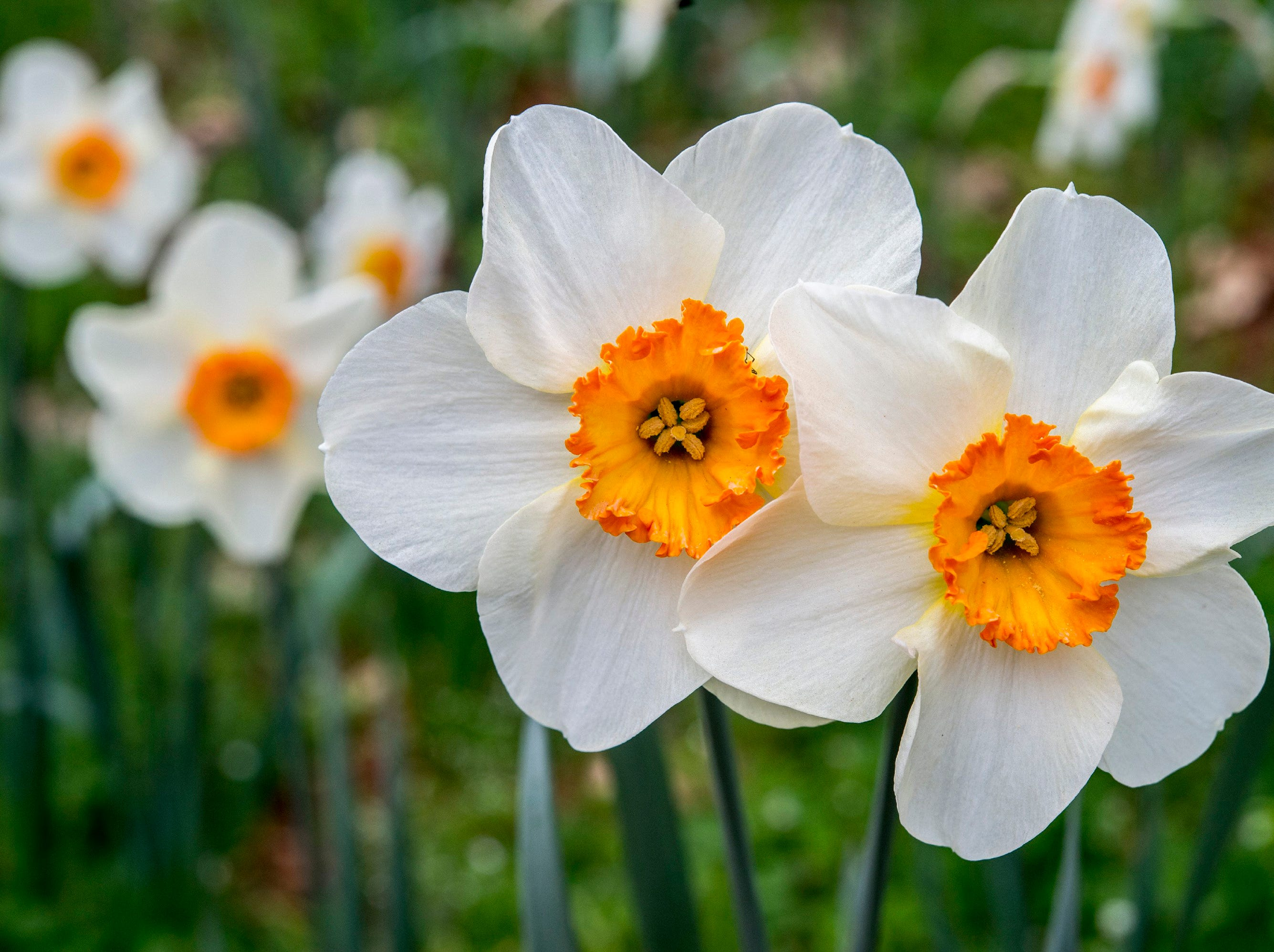 Nothing says spring like daffodils. Daffodils should be planted in the fall for spring blooms.