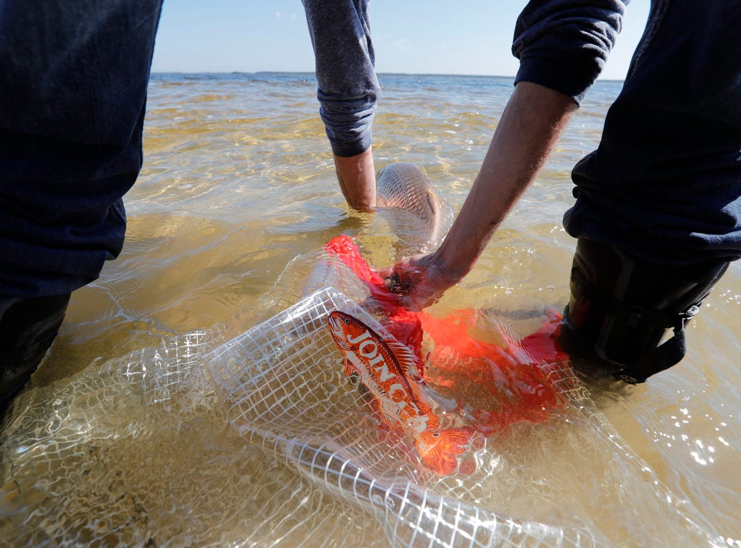 An adult redfish is released into the waters of St. James City Tuesday morning 3/12/19. The release was part of continuing red tide recovery efforts in Southwest Florida.  Approximately 2,000 juvenile fish and 30 adult redfish, all hatchery-reared and donated from the Duke Mariculture Center in Crystal River were part of the release.