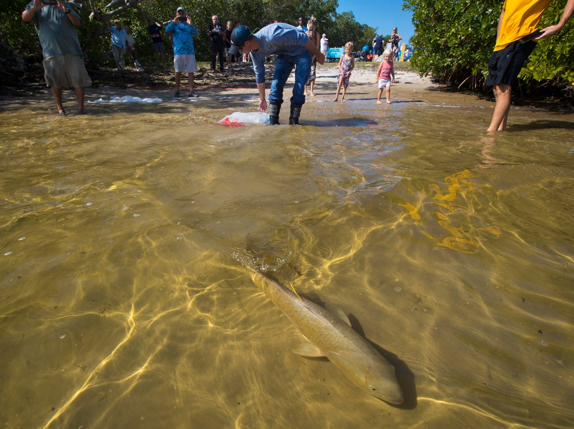 Rhett Gehring, an environmental specialist with Duke Energy,  releases an adult redfish into the waters of St. James City Tuesday morning, 3/12/19. The release was part of continuing red tide recovery efforts in Southwest Florida.  Approximately 2,000 juvenile fish and 30 adult redfish, all hatchery-reared and donated from the Duke Mariculture Center in Crystal River were part of the release.