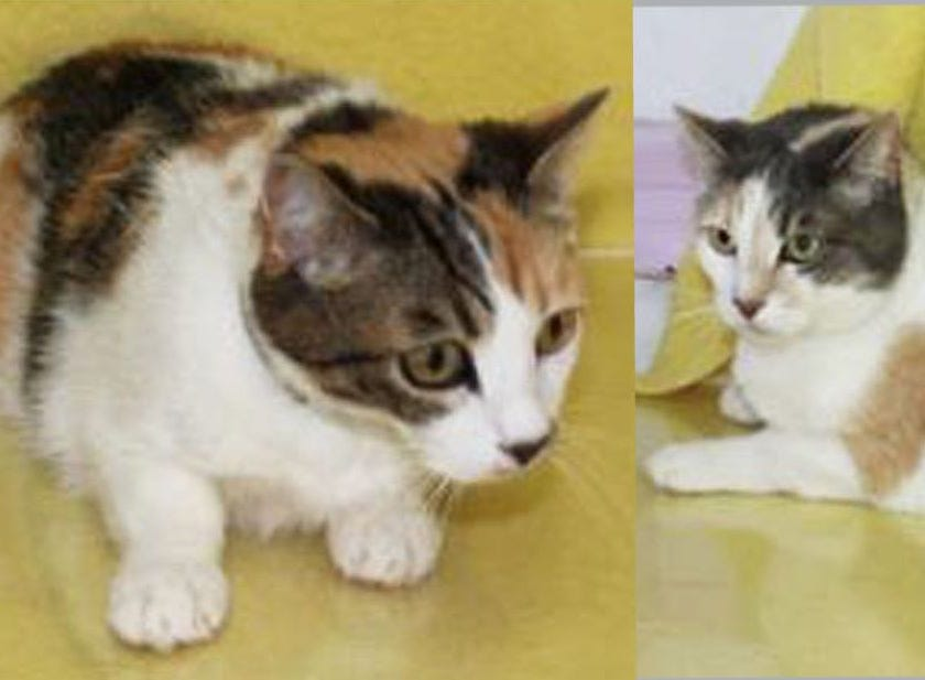 "Calico mom and daughter Delilah (10) and Allie (9) are in a pickle. Their owner has died and now they are orphans. They are scared and confused. Delilah is adjusting to the shelter a bit faster ... she greets people and is a ""flopper cat"" when you start to pet her. They really should be adopted together as they are VERY bonded. Info: monroecountyfriendsofanimals.org."