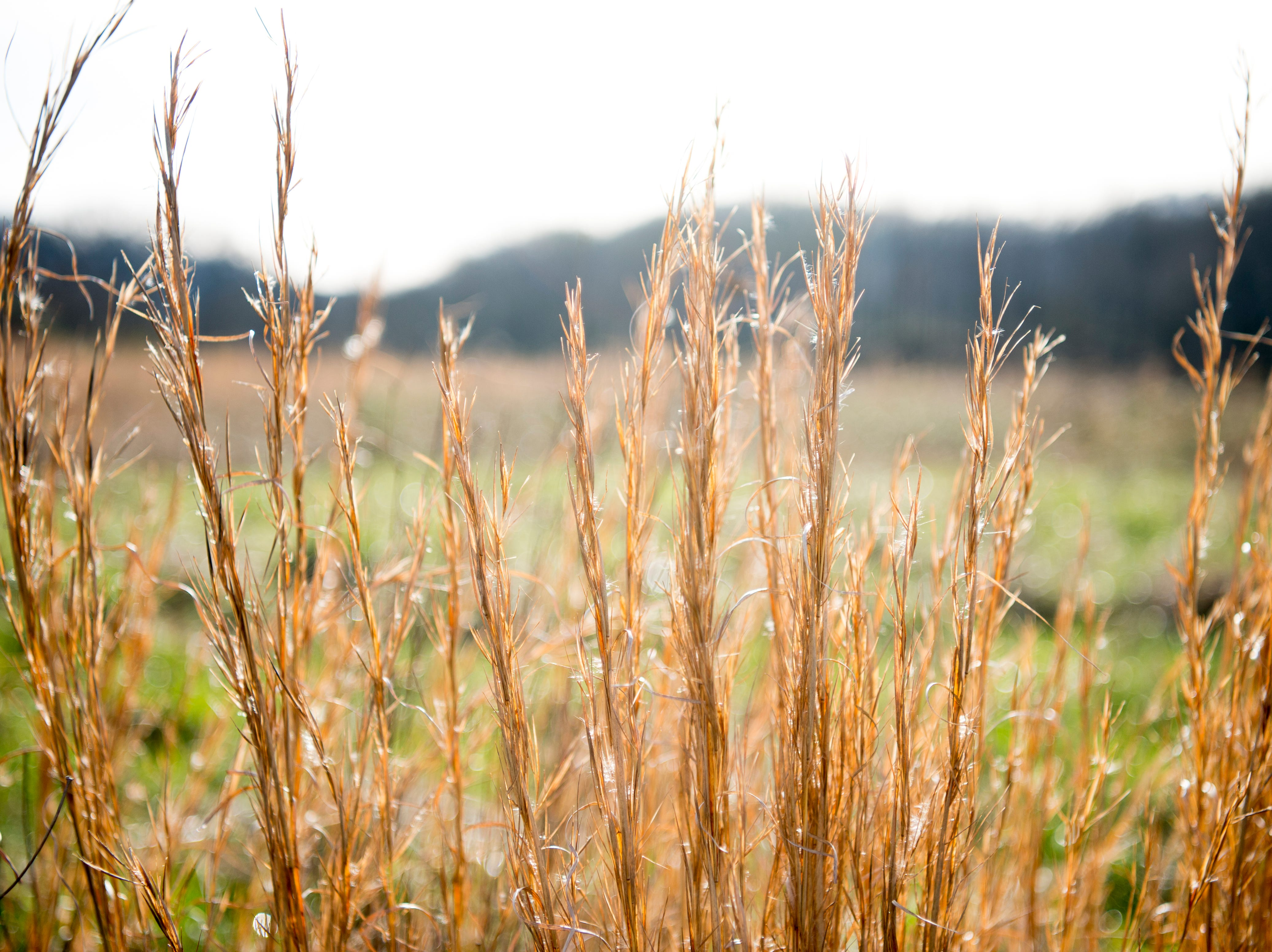 Plants sway in the wind at the site of the future Aspire Park in Clinton, Tennessee on Tuesday, March 12, 2019. The Hollingsworth Foundation is looking to redevelop nearly 450 acres of land off Yarnell Road into a recreational park.